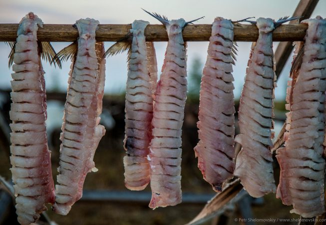 Fish is hung drying in Yadne family herding camp on the left bank of Yenisey river in West Siberia